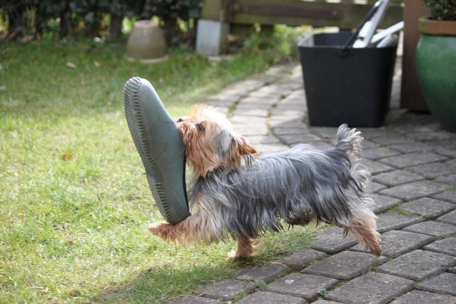 Garden Dog Shoe