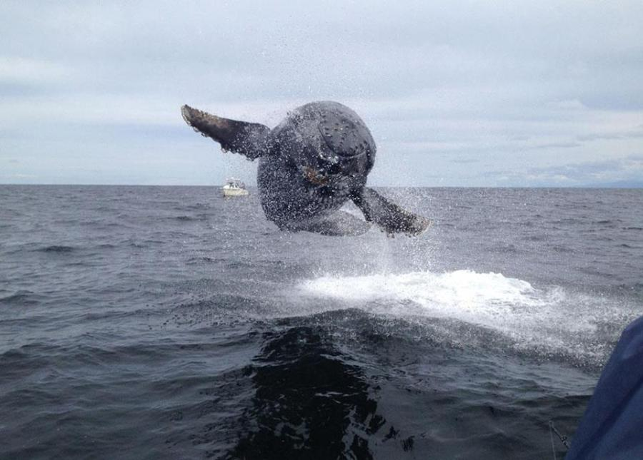 Whale Flying out of water