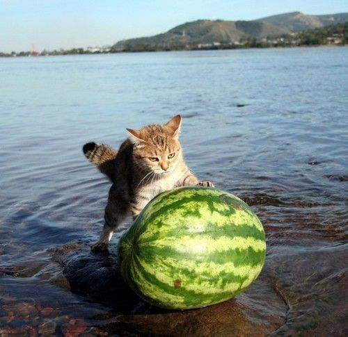 Cat Rolling Watermellon by Water