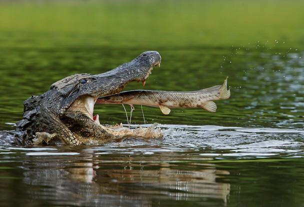Fish Flies Into Crocodile Mouth