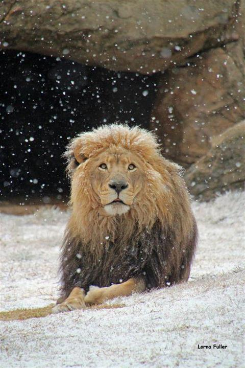 Snow in South Africa Lion