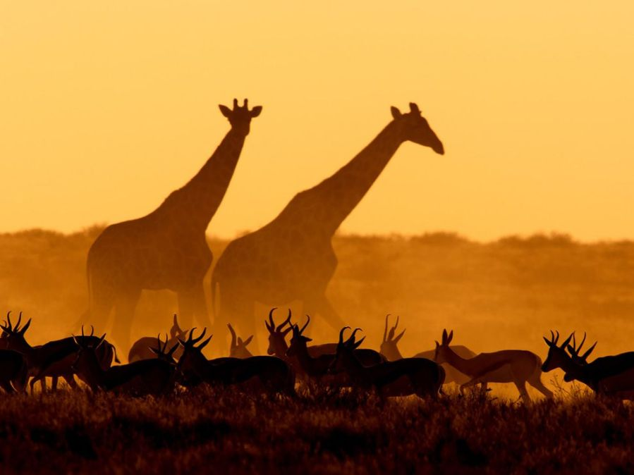 Giraffes and Gazelles