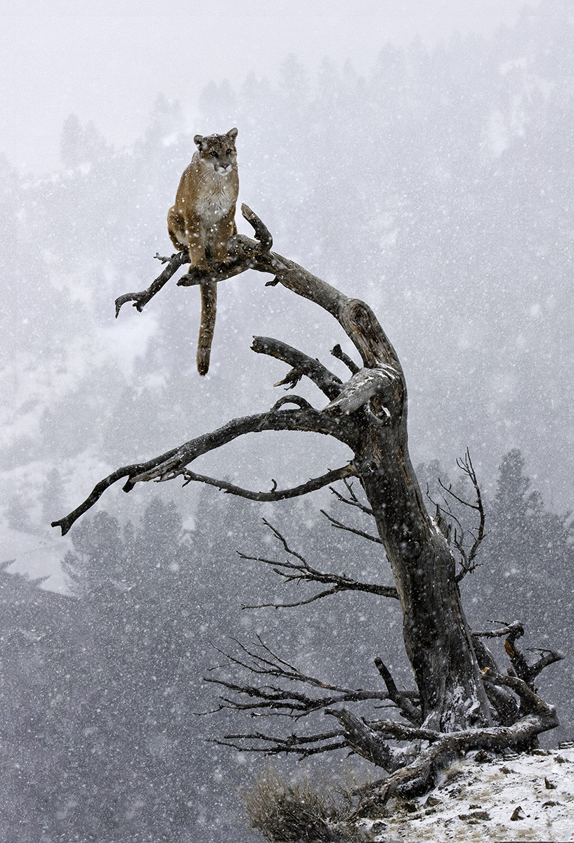 Tiger on Tree Branch